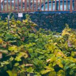Вино региона Такоронте на Тенерифе