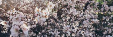 миндаль цветет на тенерифе весной