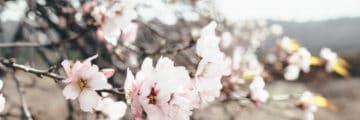 цветущий миндаль тенерифе