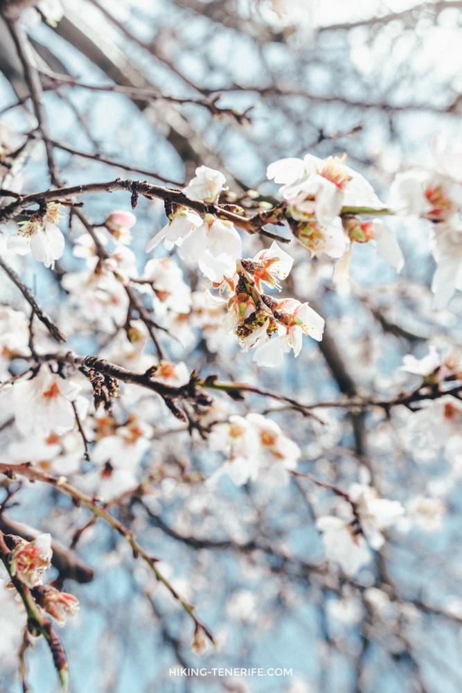 Цветущий миндаль: зима на Тенерифе