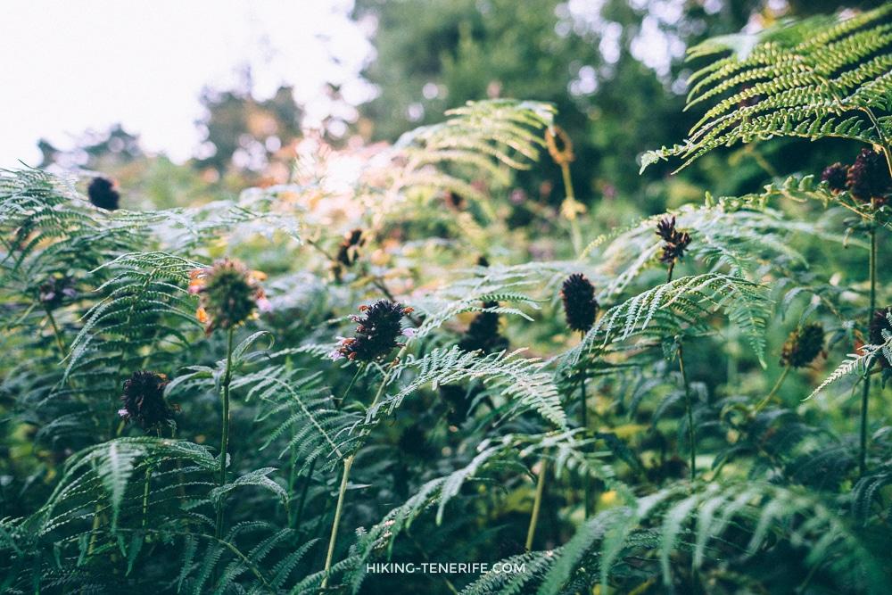 лес Тенерифе в июле