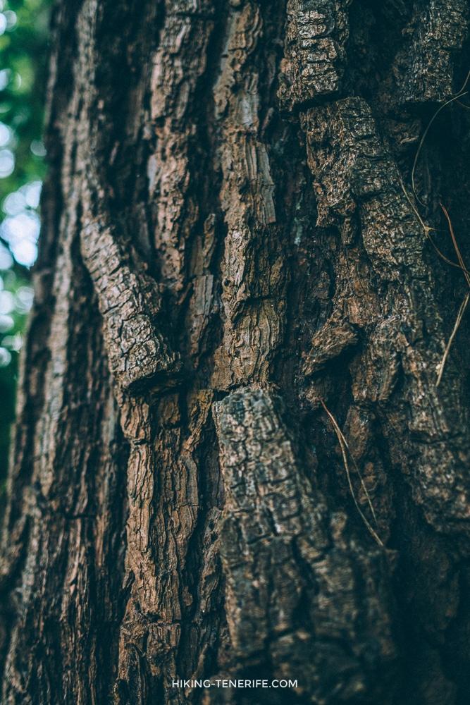 деревья тенерифе