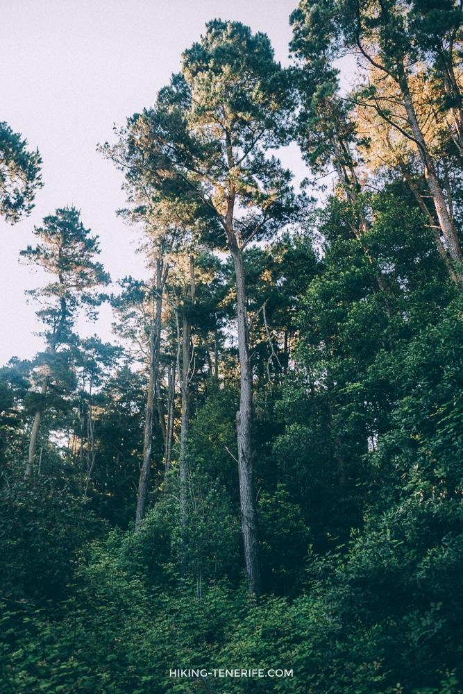 эвкалиптовый лес на Тенерифе в июле