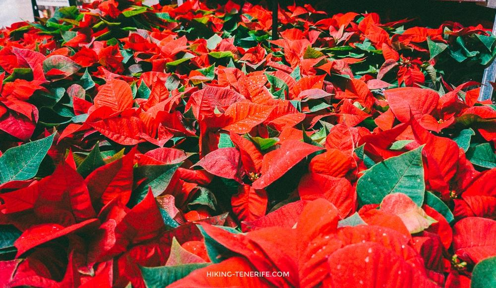 новогодний цветок паскуа на Тенерифе