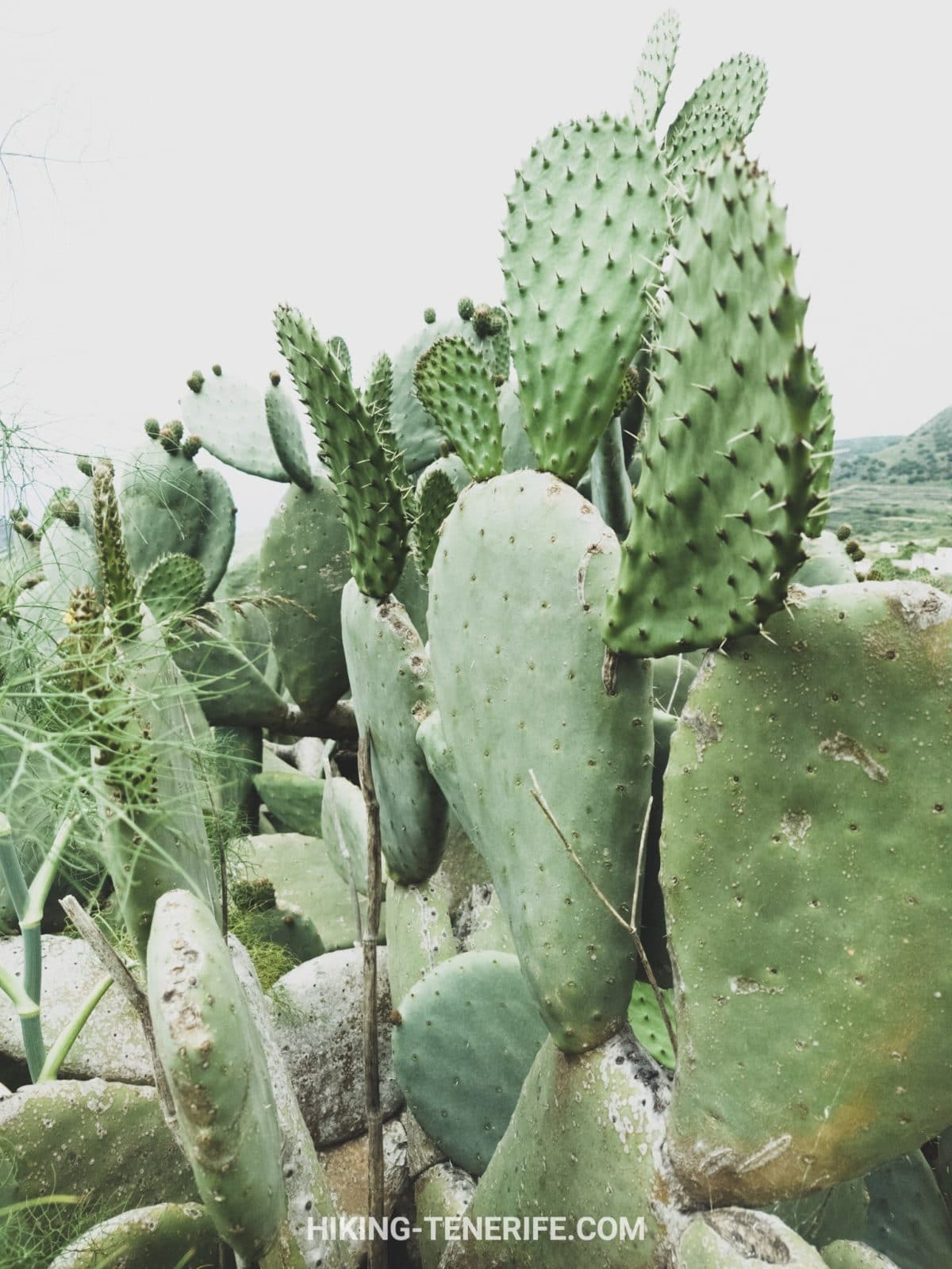 кактусы Тенерифе