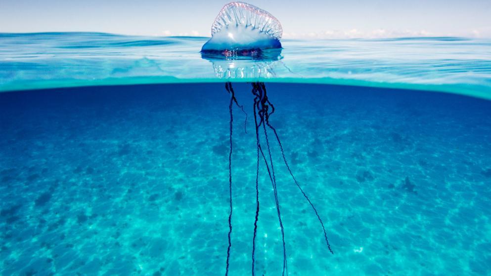 portugalskii-korablik-medusa-tenerife