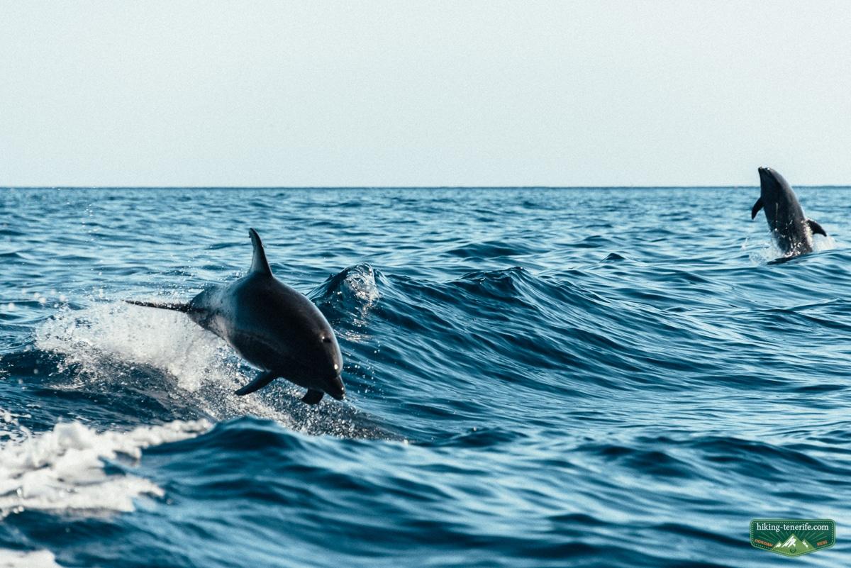 дельфины гринды на тенерифе