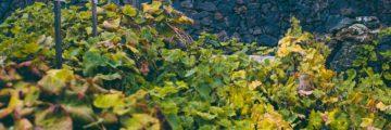 виноделие на Тенерифе в Такоронте
