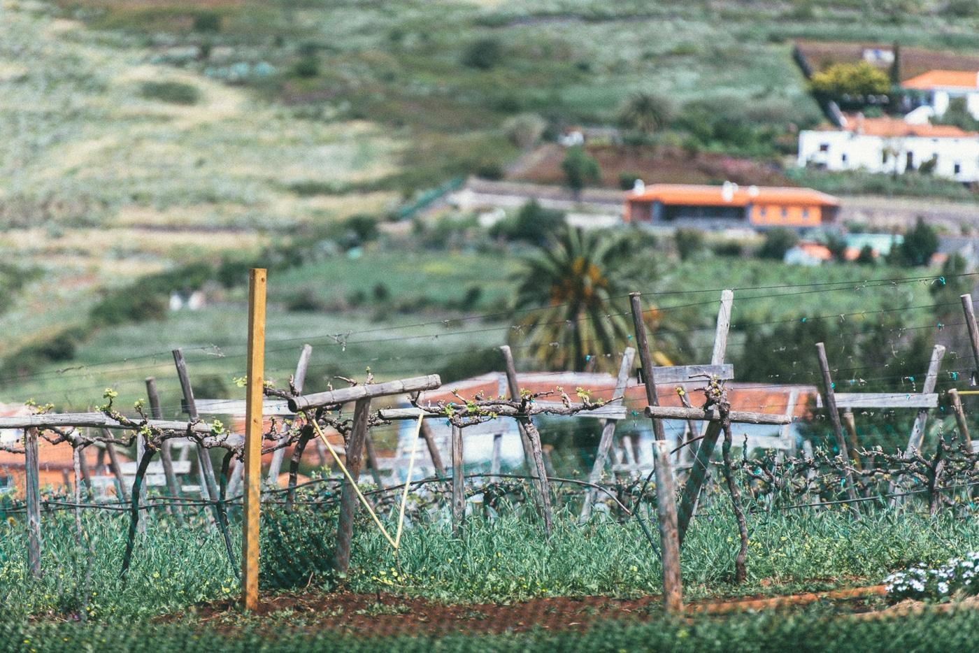 виноградники на Тенерифе