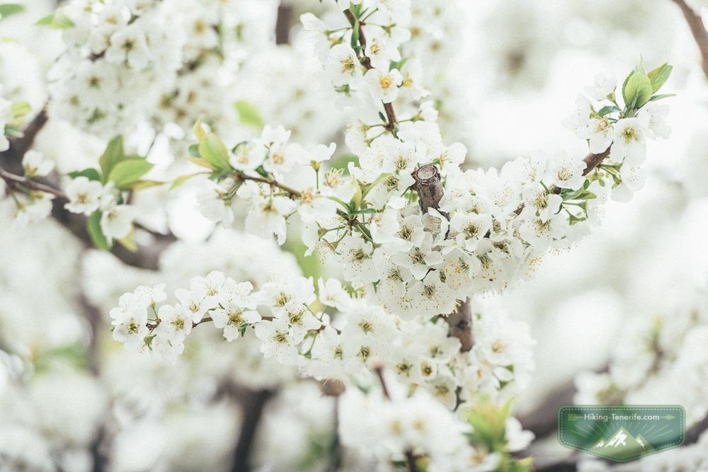 цветущие яблони на Тенерифе