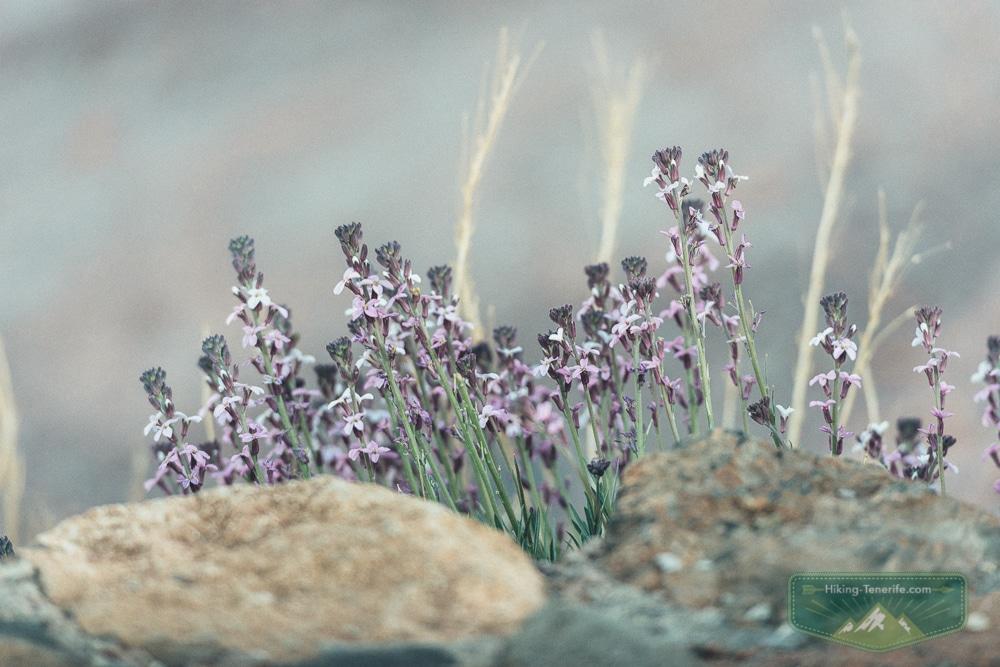 растения у Тейде